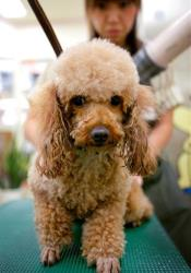 Not the poodle Ted Shuttleworth allegedly killed.