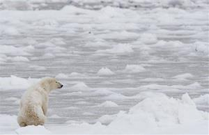 A polar bear looks towards Hudson Bay near Churchill, Manitoba, Wednesday, Nov. 7, 2007.