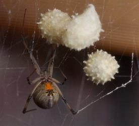A brown widow spider guarding her egg sacs in Florida.