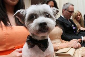 Wearing a bow tie for the occasion, Blue Joie is held by his owner Ingrid Robinson of New York as they wait for the start of the wedding,