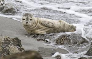 In this Aug. 15, 2011 photo provided by Robin Lindsey, an emaciated harbor seal, later named Sandy, lies on a beach in Seattle before being rescued.