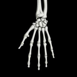 A stock image of hand bones.