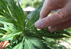 A grower points to the part of the marijuana plant that will eventually flower.