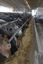 Cattle are fed at Larson Farms/Midwest Feeders, one of the largest ranches in Illinois, Wednesday, April 25, 2012, in Maple Park, Ill.