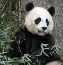In this Dec. 19, 2011 file photo, Mei Xiang, the female giant panda at the Smithsonian's National Zoo in Washington, eats breakfast.