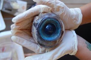 This photo made available by the Florida Fish and Wildlife Conservation Commission shows a giant eyeball found at Pompano Beach, Fla.