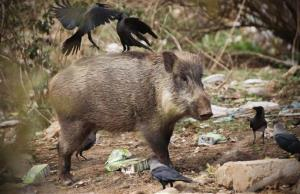 In this Wednesday, Feb. 22, 2012 photo, a wild boar searches for food in the Margallah Hills of Islamabad, Pakistan.