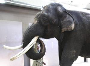 Koshik, a 22-year-old Asian elephant, at the Everland amusement park in Yongin, South Korea, can speak five words of Korean by placing his trunk in his mouth to modulate the sound.