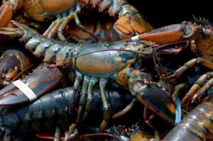 Lobsters have become cannibals in the Gulf of Maine.
