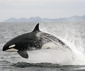 A killer whale is seen in this file photo.