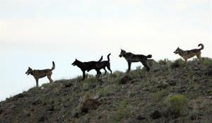 The alpha female of the Lamar Canyon wolf pack was shot in Wyoming.