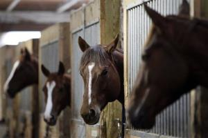 Racehorses look out of their stalls at a horse racing training facility owned by Michael Gill in Oxford, Pa., Tuesday, Feb. 2, 2010.