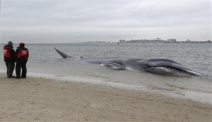 An 60-foot finback whale that beached itself in the Breezy Point neighborhood of New York has died.