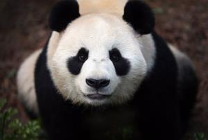Female Giant Panda Jia Jia, one of two Giant Pandas from China is seen in its enclosure on Monday Oct. 29, 2012 in Singapore.