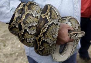 A Burmese python is coiled around the arm of hunter Michael Cole during a news conference  Monday, Feb. 22, 2010 in the Florida Everglades where the Florida Fish and Wildlife Commission announced a special season for hunters to capture and remove reptiles of concern from state-managed lands around the Everglades.