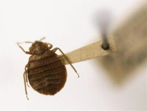 A bedbug is displayed at the Smithsonian Institution National Museum of Natural History in Washington.
