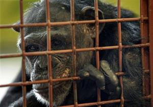 This 2009 photo shows Jamie, a chimpanzee who was owned as a pet and then sold to a medical research facility, at Chimpanzee Sanctuary Northwest in Cle Elum, Wash.