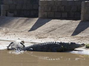 This photo taken Wednesday shows a recaptured crocodile in Pontdrif, South Africa.