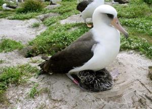 At 60 years old in 2011, Wisdom is seen with a chick at the Midway Atoll National Wildlife Refuge near Hawaii.