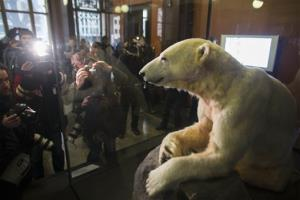 Late polar bear Knut is on display at the   Natural History Museum  in Berlin, today.