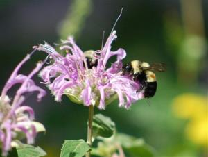 The photo provided by amateur Illinois bee spotter Johanna James-Hein, shows a rusty-patched bumblebee in Peoria, Ill.