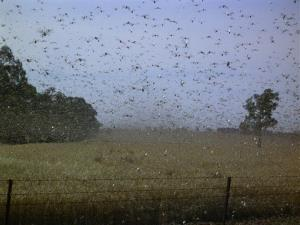 This undated photo shows locusts swarming in New South Wales, Australia. Egypt has been inundated with an estimated 30 million of the insects.