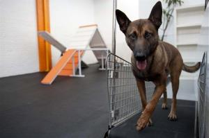 A Belgian Malinois is shown.