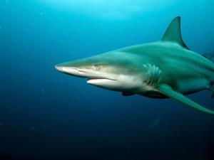 File photo of a blacktip, one of the types now migrating near Florida beaches.