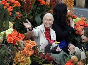 Jane Goodall, of England, famed for her work with chimpanzees in Africa and for her efforts on behalf of endangered species everywhere, is seen in Pasadena, Calif., Jan. 1, 2013.