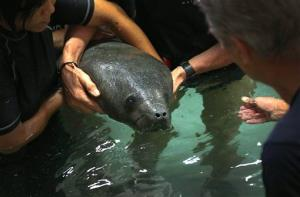 River Safari keepers gently release a 4-month old baby female Manatee named Mini, into a holding pool on Wednesday, March 13, 2013, in Singapore.