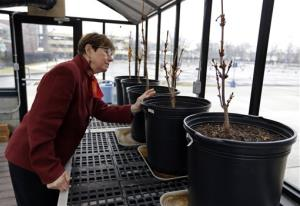 In this Monday, March 18, photo, Mary Fortney, learning resource development manager at the Indianapolis Children's Museum, looks over chestnut saplings from the tree outside Anne Frank's hiding spot.