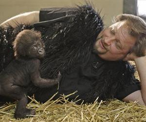 Cincinnati Zoo & Botanical Garden staffer Ron Evans works with 2-month-old Gladys, a western lowland gorilla.