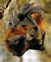 A mother and baby grey-headed Flying fox rest in a tree before flying out to feed Sunday, March 13, 2011 at a bat colony in western Sydney, Australia.
