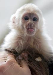 Justin Bieber's capuchin monkey 'Mally sits on the head of an employee in an animal  shelter in Munich, Germany, Tuesday, April 2, 2013.