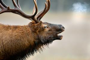 File photo of an elk, not a pig.