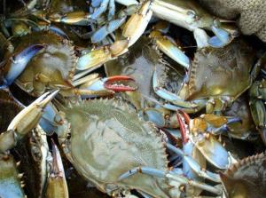 Blue crabs sit in a box after being harvested in the waters around Delacroix, La.