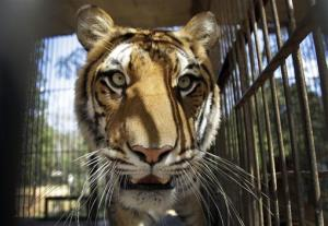 A circus tiger looks out from a cage parked on zoo grounds, in Asuncion, Paraguay, Tuesday, Aug. 28, 2012.