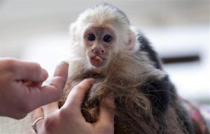 Capuchin monkey 'Mally sits on the head of an employee in an animal  shelter in Munich, Germany, Tuesday, April 2, 2013.