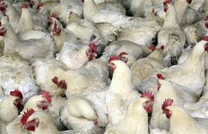File photo of a chicken farm, this one in China.