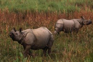 One horned Rhinoceros are seen inside the Kaziranga National Park in Kaziranga about 156 miles east of Gauhati, India, Tuesday, April 9, 2013.