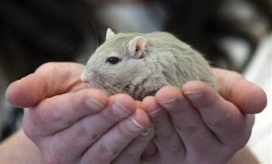 Diane Nott, of Elyria, Ohio, holds a gerbil prior to the society's annual New England pageant.