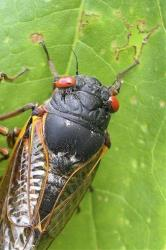 This photo provided by the University of Connecticut shows a cicada in Pipestem State Park in West Virginia on May 27, 2003.