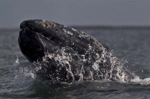 In this file photo, a gray whale surfaces at the Ojo de Liebre lagoon in Guerrero Negro, Mexico.