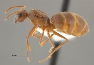 Hairy crazy ants are on the move in Florida, Texas, Mississippi and Louisiana.