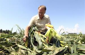 Giorgio Fidenato picks up corn on almost an acre of nearly mature corn genetically altered to resist pesticides.