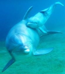 This undated photo provided courtesy of Dolphin Quest Hawaii shows Keo and her newborn calf.