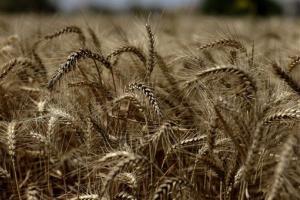 File photo of a wheat field, the non-GMO variety.
