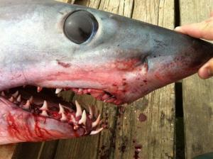 This is only a 375-pound, 8-foot long mako shark.