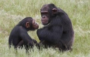 Chimpanzees sit in an enclosure at the Chimp Eden rehabilitation center, near Nelspruit, South Africa.