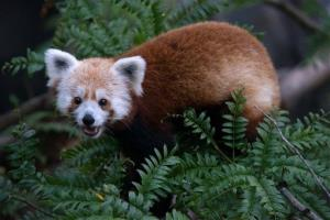 Rusty the Red Panda.